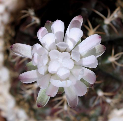 Gymnocalycium anisitsii ssp damsii  5