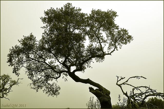 Quercus ilex - Azinheiras