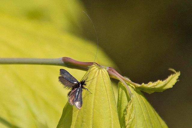 20110429 1388RAw Motte (Adela reaumurella)