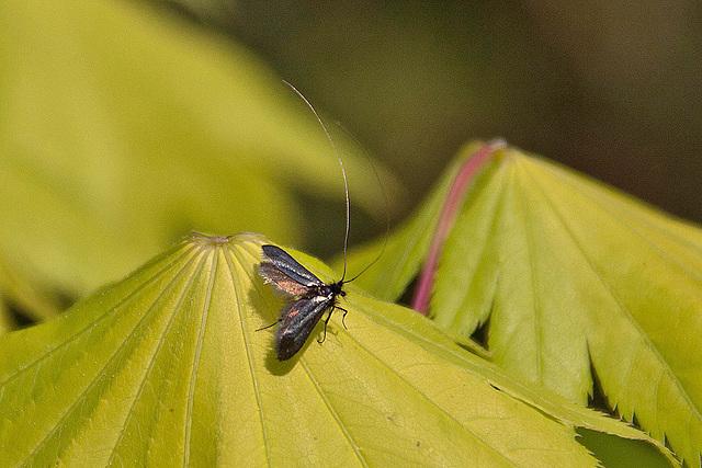 20110429 1383RAw Motte (Adela reaumurella)