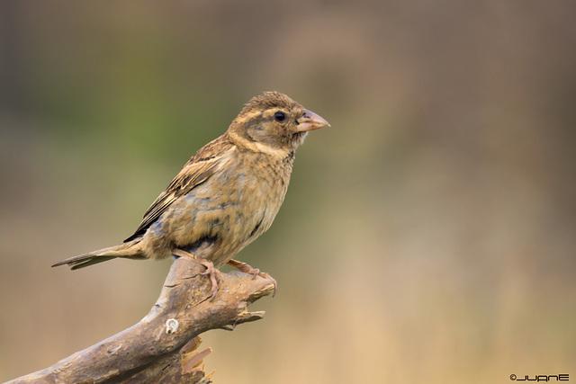 Gorrion moruno-Passer hispaniolensis(♀)