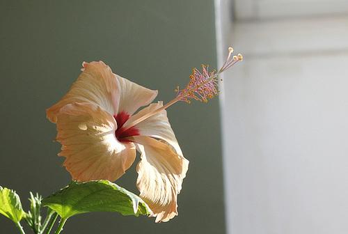 Hibiscus : conseils de culture et floraisons 10926283.8d1fc739.500