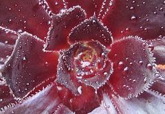 Aeonium Atropurpureum Schwarzkopf P8072637-2