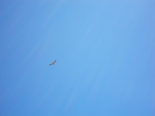 Au sommet du Touron du Néouvielle : vautour.