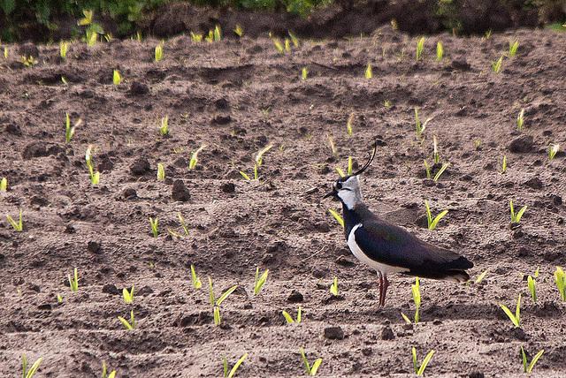 20110506 2007RTw [D-PB] Kiebitz (Vanellus vanellus), Steinhorster Becken, Delbrück