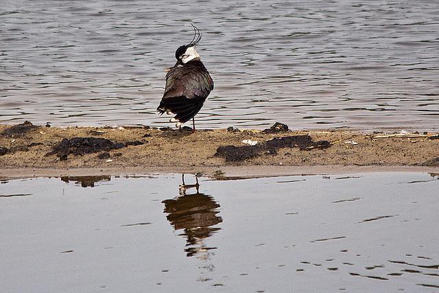 20110506 1998RTw [D-PB] Kiebitz (Vanellus vanellus), Steinhorster Becken, Delbrück