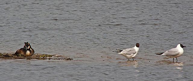 20110506 1941RTw [D-PB] Haubentaucher-Paar, Lachmöwe (Chroicocephalus ridibundus)