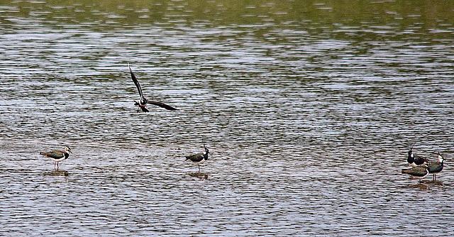 20110506 1931RTw [D-PB] Kiebitz (Vanellus vanellus), Steinhorster Becken, Delbrück