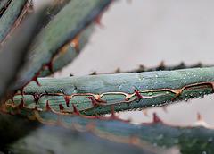 les dents de l'agave