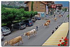 """hier ist echt """"die Kuh los"""""""