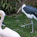 20110416 0951RAw [D~LIP] Marabu, Heiliger Ibis, Rosapelikan, Vogelpark, Detmold-Heiligenkirchen