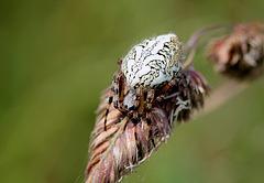 Aculepeira ceropagia