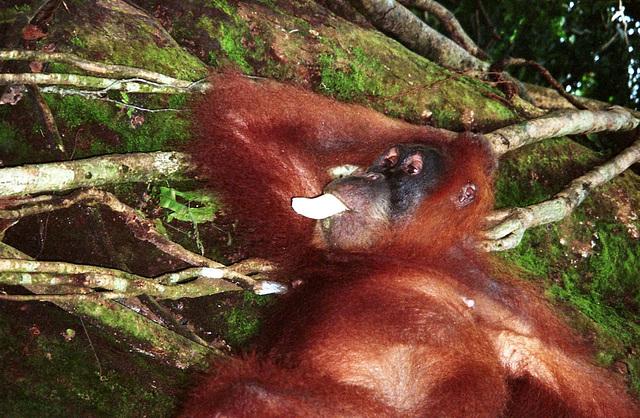 Sumatra: Wild orangutan...laid back