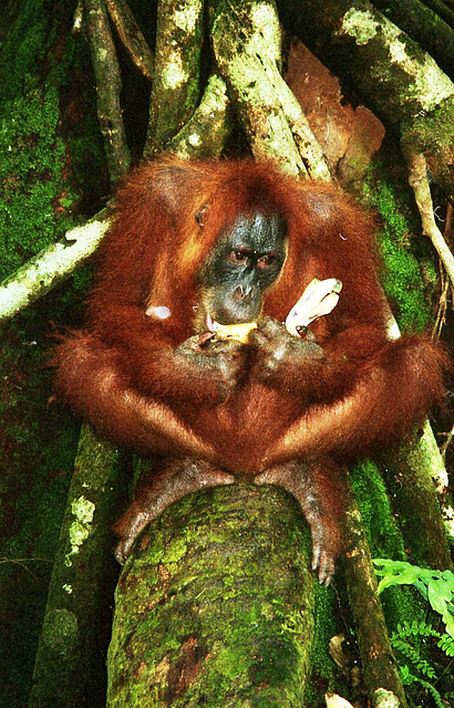 Sumatra:Wild orangutan eating my breakfast