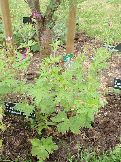 Geranium x psilostemon 'Catherine Deneuve' 10807700.ecafc73c.560
