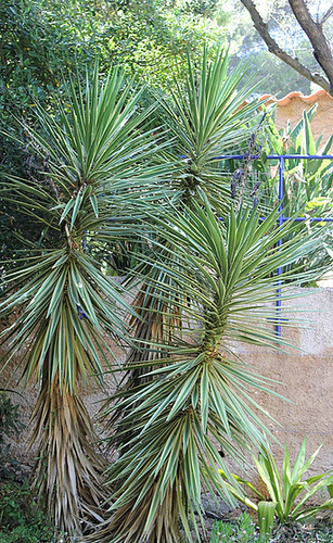 Yucca panaché- aloïfolia lineata lutea ??