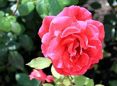 Schottische Rose