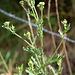Séneçon à feuille de roquette- Senecio erucifolia