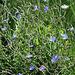 Cichorium intibus -Chicorée