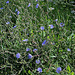 Cichorium intibus -plante