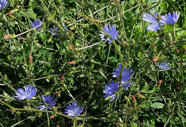 Cichorium intibus -semis de fleurs