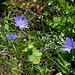 Cichorium intibus - détail