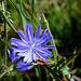 Cichorium intibus - fleur