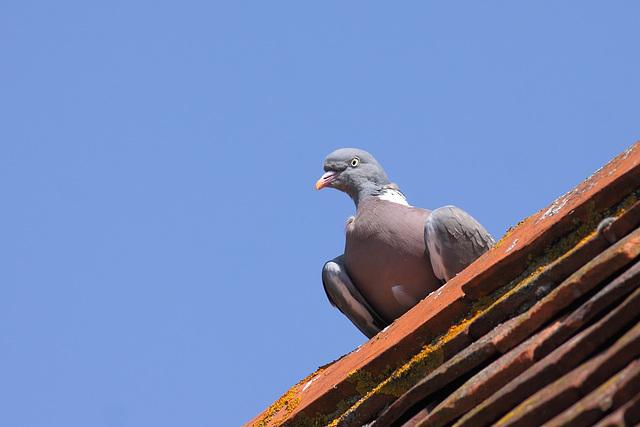 Wood-pigeon (Columba palumbus)