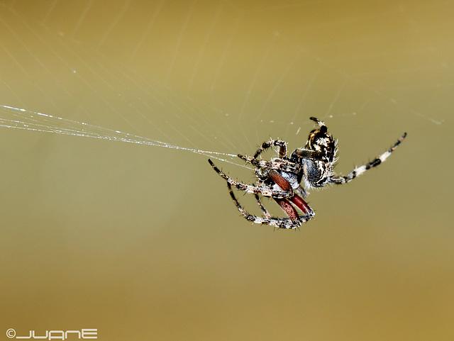 Araneus bufo.