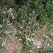 Cardère à foulon - Dipsacus fullonum (5)