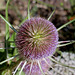Cardère à foulon - Dipsacus fullonum (4)