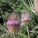 Cardère à foulon - Dipsacus fullonum (2)