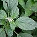 Héliotropium europaeum 2