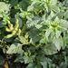 Amarante- Amaranthus retroflexus