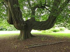 Tanzbaum?