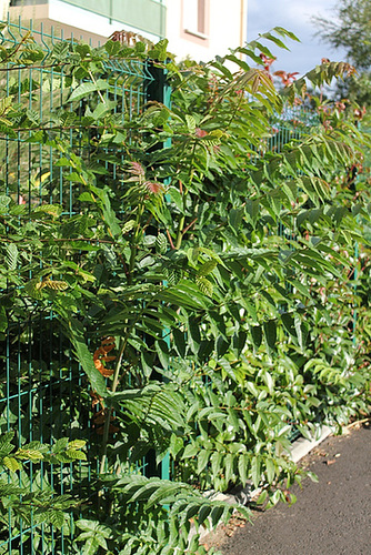 Ailanthus altissima - ailante glanduleux 11078047.269683c7.500
