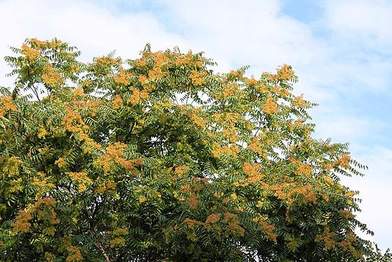 Ailanthus altissima - ailante glanduleux 11078048.b85290c5.560