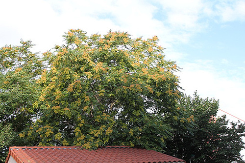 Ailanthus altissima - ailante glanduleux 11078049.4259af81.500
