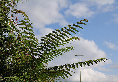 Ailanthus altissima - ailante glanduleux 11078050.1747a26d.500
