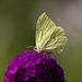 20110728 6371RTw [D~LIP] Zitronenfalter, Bad Salzuflen