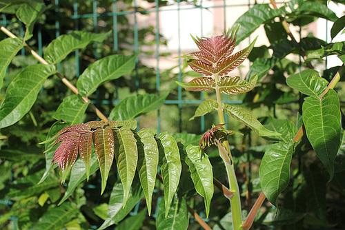Ailanthus altissima - ailante glanduleux 11078051.fabc8297.500