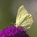 20110728 6370RTw [D~LIP] Zitronenfalter, Bad Salzuflen