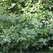Cornus alba 2