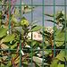 Cornouilliers en cage- Cornus alba