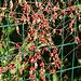 Bryone dioïque- Une plante très toxique