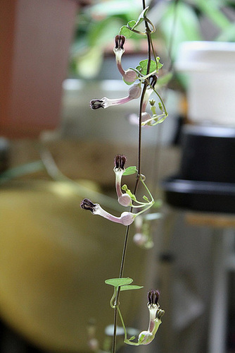 Ceropegia linearis v. woodii