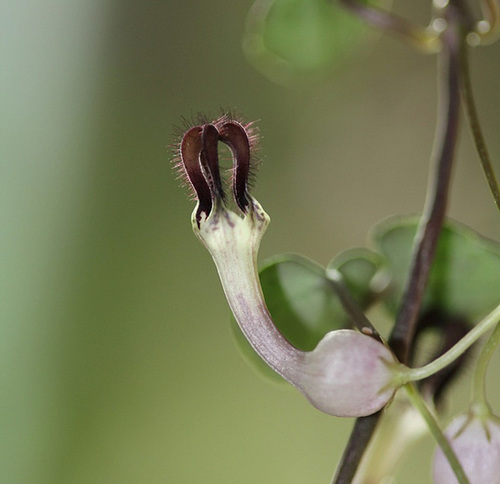 Ceropegia linearis ssp woodii