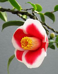 Camellia Bonsai (Explored June 8, 2013)
