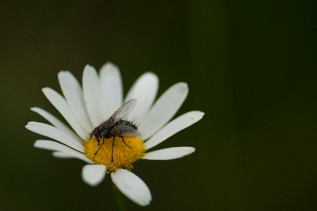 fly on flower