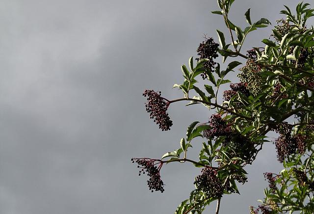 sureau noir- fruits